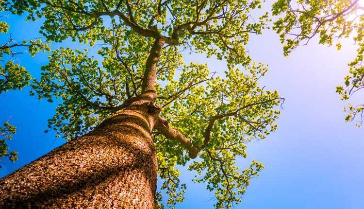 Heritage tree in Delhi