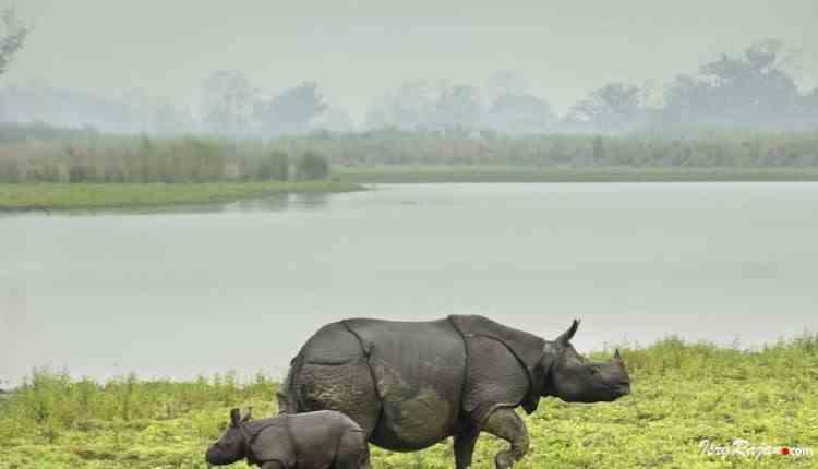 Rhinoceros at Kaziranga