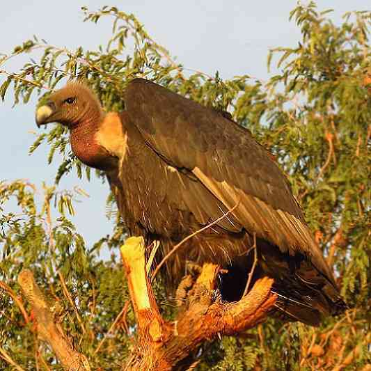 Vulture in thar