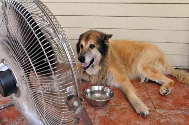 Dog, Heat, Summer, Fan