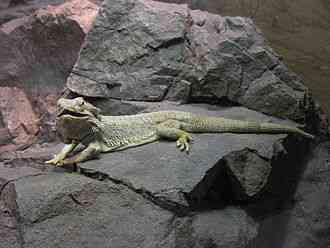 Pogona vitticeps, Bearded Dragon, Reptile, central bearded dragon