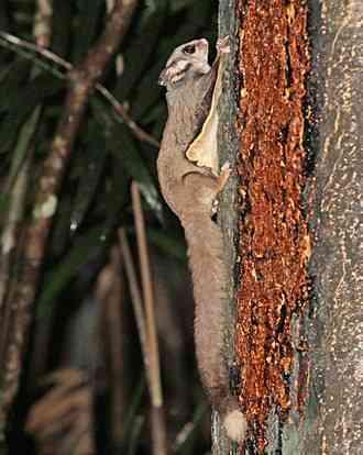 Sugar Glider, Petaurus breviceps
