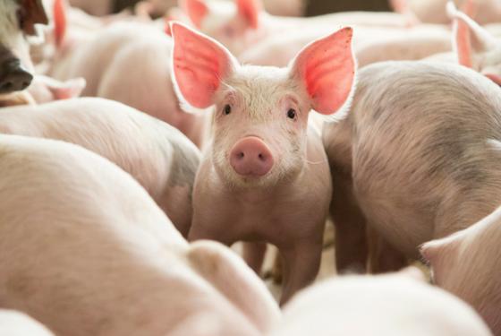 Minature Pig, Micro Pig, Teacup Pig, Sus scrofa domesticus
