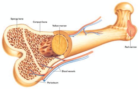 bone Marrow image
