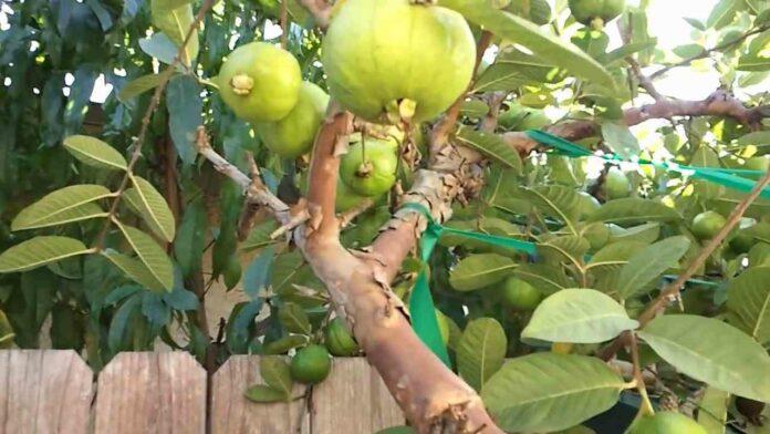 Calcium guava