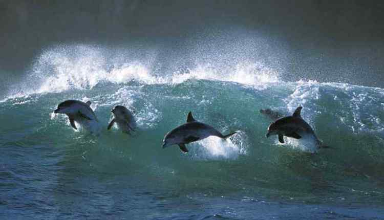 Dolphins, group of Dolphins