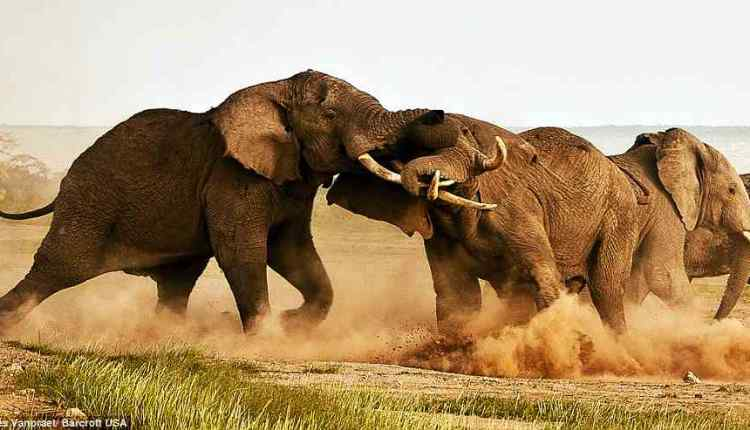 Elephants get High, elephant fight