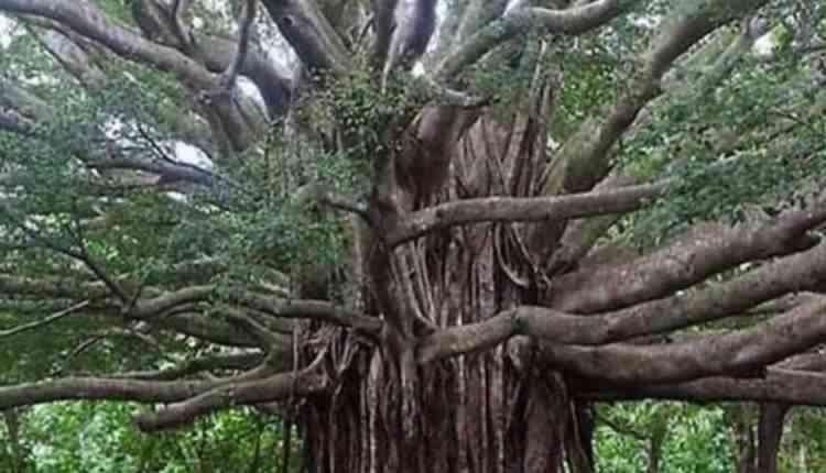 Bargad tree