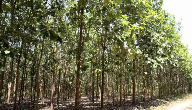 sagwan tree