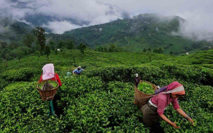 The Tea of Assam