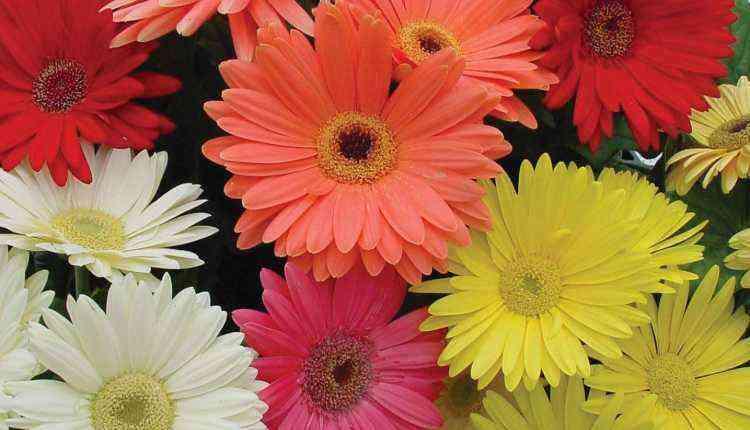 Transvaal daisy