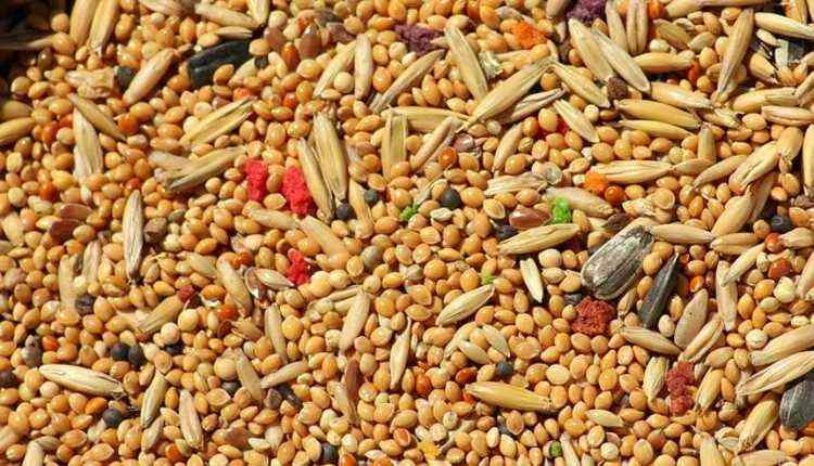 Millet, Grain