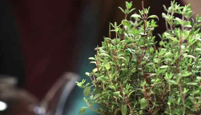 Health Benefits Of Thyme Or Ajwain