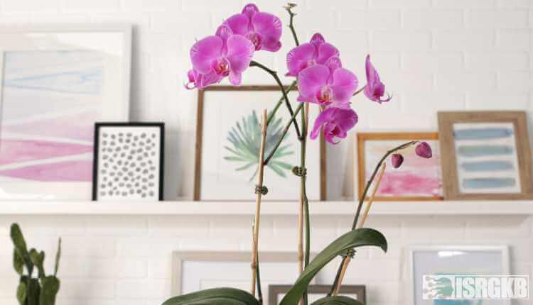 Large Deck Orchids