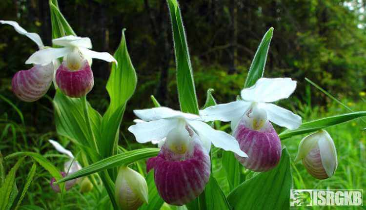 Showy Ladys Slippers Orchid
