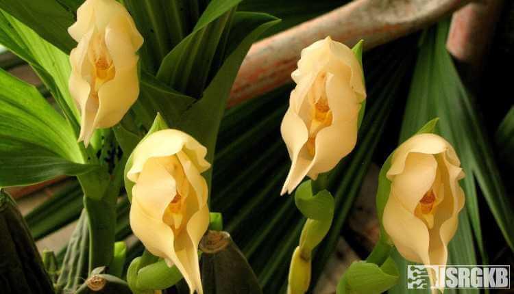 Tulip Orchids, Cradle Orchids