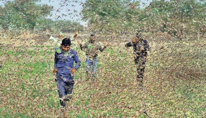 Locust, Attack, Problem, Crops, Farmers, India