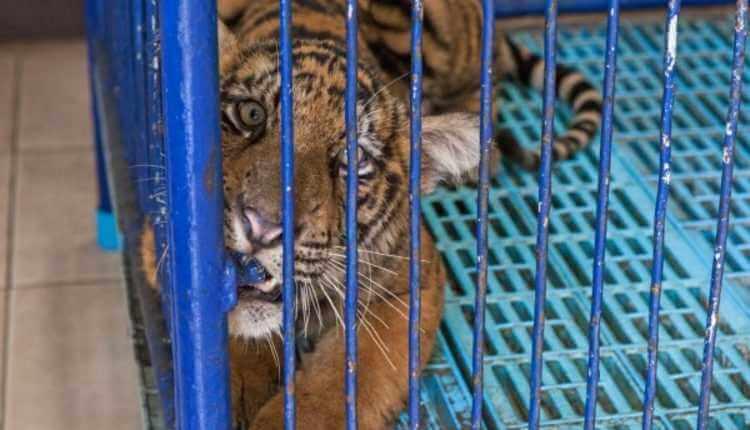 Tiger, Cub, Blue Cage
