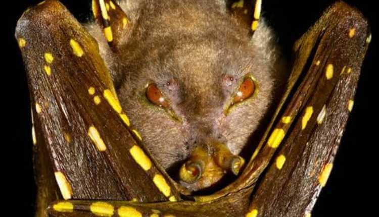 Tube Nosed Bat