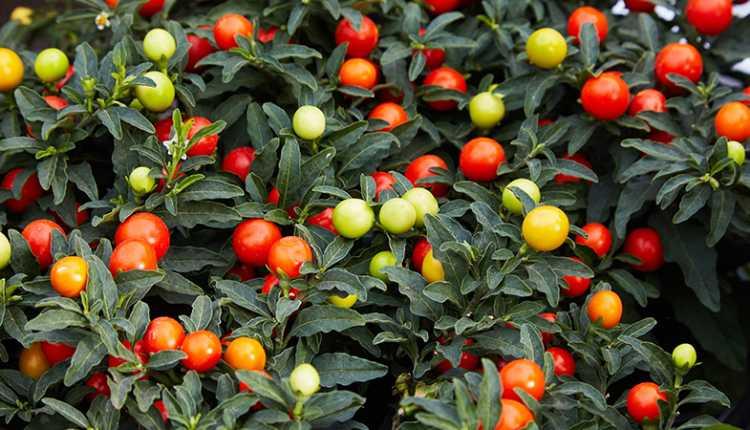 The Jerusalem Cherry Plant