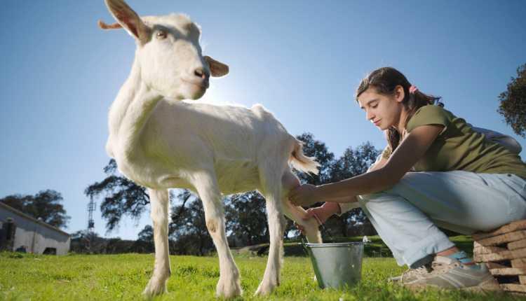 Goat Milk, Milking Goat