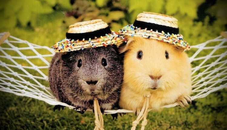 Guinea Pigs, playing, pet