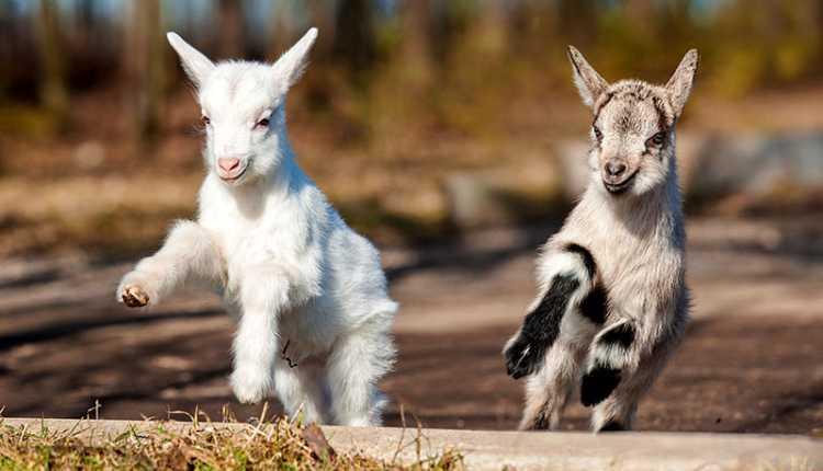 Goat Kids Playing