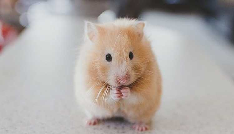 Hamsters, Pet, Playing, White