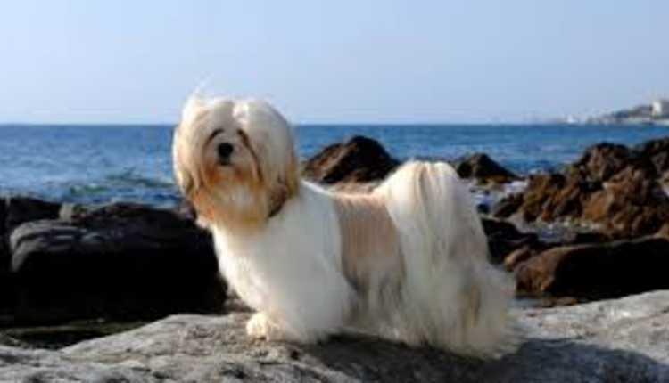Lhasa Apso, Dog