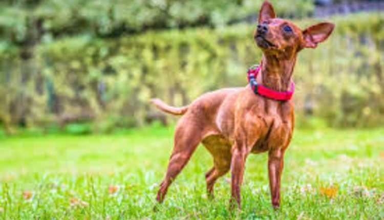 Miniature Pinscher, Dog
