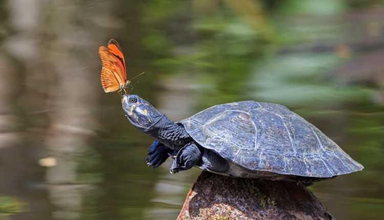 Turtles, Tortoises Pet, Sea, Butterfly