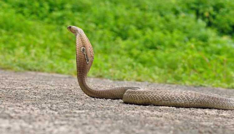 The Indian Cobra