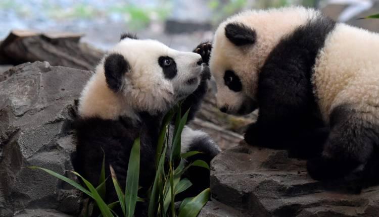 Pet, Panda, Bear