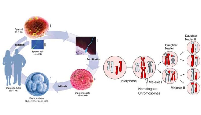 Mitosis And Meiosis In Human