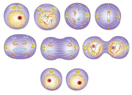 Mitosis, cell