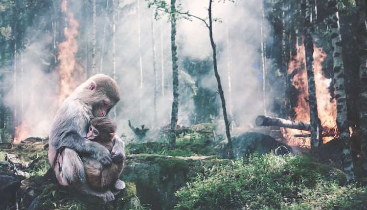 Deforestation, Ape, Baby, Forest Fire, Fear, Risk
